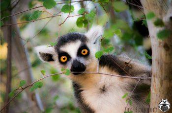 Lemur w marketingu czyli po pierwsze, nie szkodzić fot. ZOO Wrocław (2)