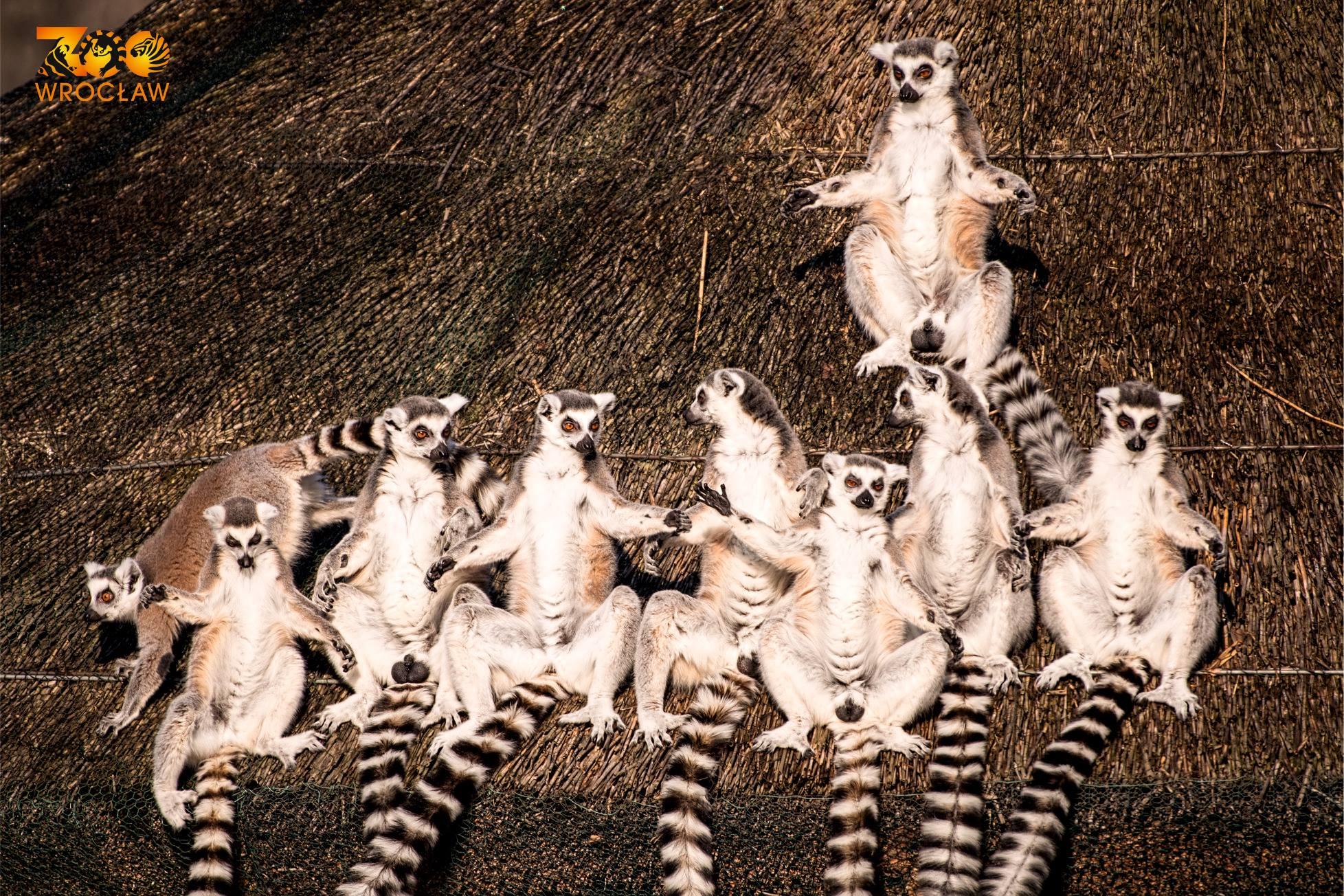 Lemur w marketingu czyli po pierwsze, nie szkodzić fot. ZOO Wrocław (3)
